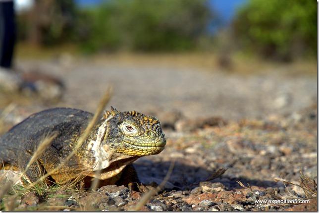 L'iguane de terre surveille mon objectif du coin de l'oeil. Galapagos, Equateur.