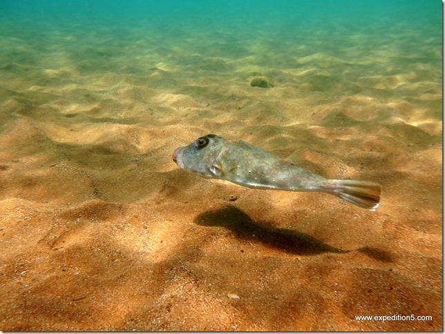 Un poisson ovni qui survole le fond ?  Galapagos, Equateur.