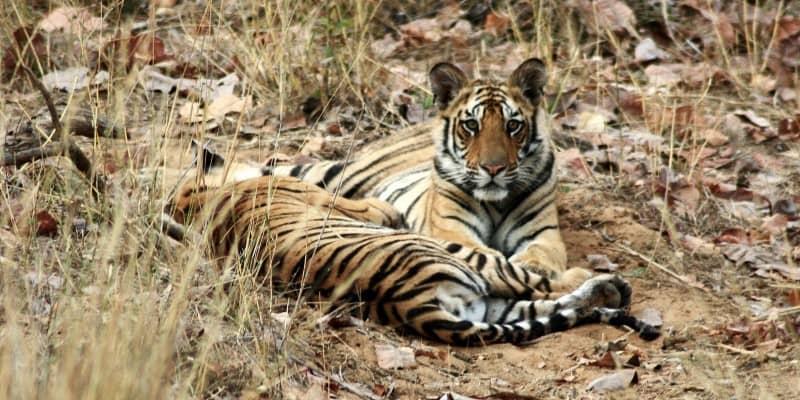 tigers-----bandavgarh-national-park_5165680857_o