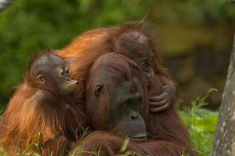 mother orangutan with her cute babies