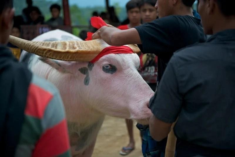 Sulawesi Malakiri Village Funeral - Albino Buffalo