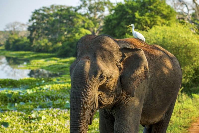 elephant-yala