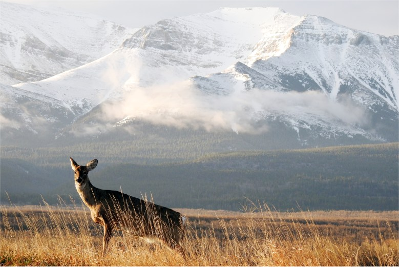 deer at dawn in waterton