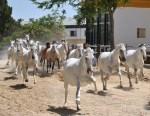 Yeguas corriendo con la Yeguada Cartuja en Jerez de la Frontera