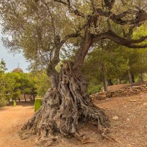 Los Olivos milenarios en Alcanar en Tarragona