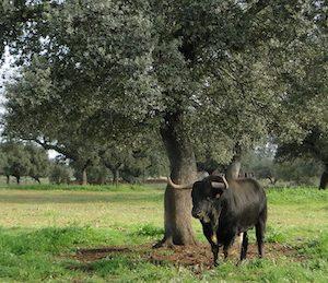 Toro en la dehesa Peñas Blancas en Merida en Extremadura