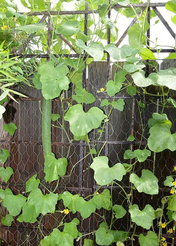 Armenian Cucumber on trellis