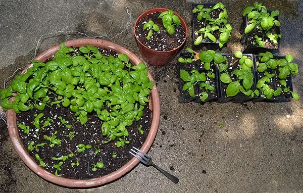 Transplanting extra Sweet Basil into 6-packs to give away.