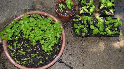 How To Grow Transplants from Seeds