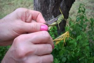 Holding Grasshoppers by the legs