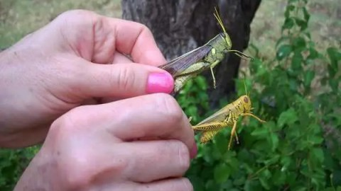 Controlling Grasshoppers Organically in the Urban Garden