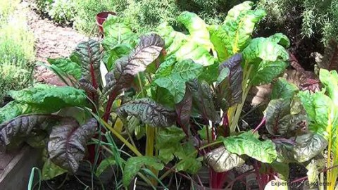 Swiss Chard: a Beautiful Tasty Green that Grows Well in Texas