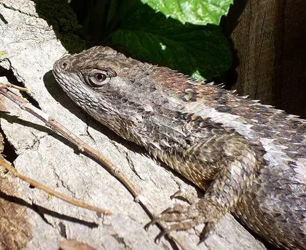 Texas Spiny Lizard Sunning on a log