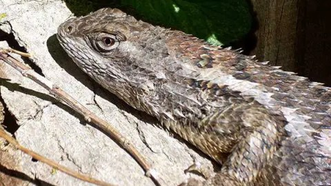 The Texas Spiny Lizard: a Gardener's Friend