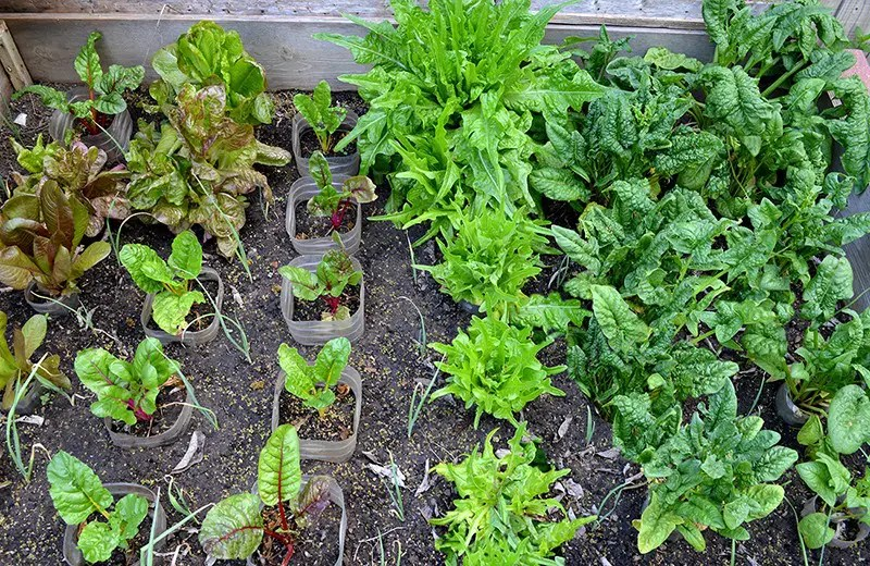 To show several winter greens growing in the garden.