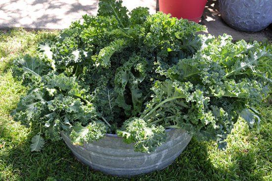 kale-harvested