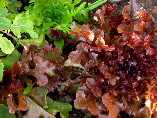 red-and-green-oak-leaf-lettuce