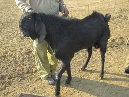 Beetal goat breed image