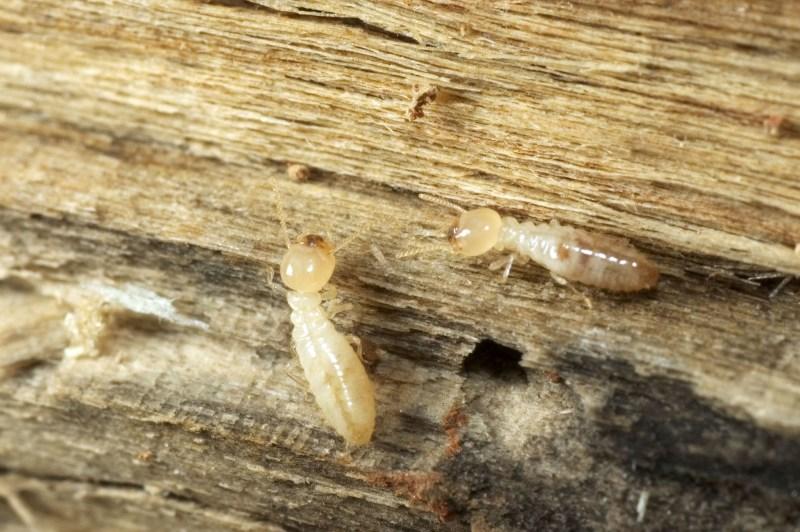 Le termite est un parasite fléau pour les constructions bois