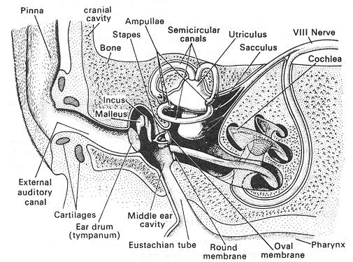 External ear, EXTERNA L EAR - It is an oval shaped, some ...