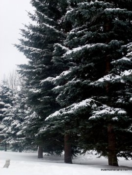 I make no secret of the fact that I'm slightly obsessed with fir trees with snow on them.