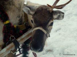 The saddest reindeer :(