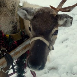 The saddest reindeer :(
