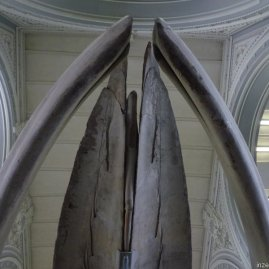 This is what it would look like if you were standing under the mouth of a blue whale skeleton (fact!).