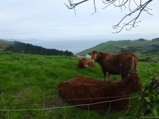 I took really a lot of photos of cows.