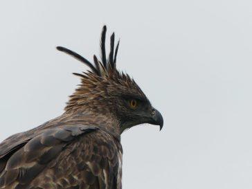 voyage-sri-lanka-udawalawe-aigle-huppe-08