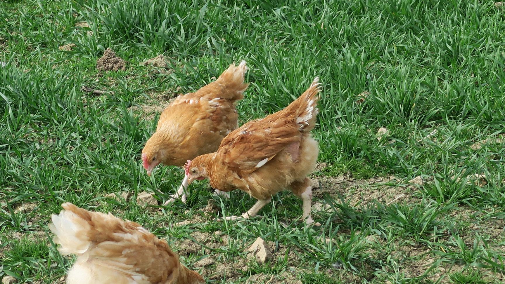 Elevage de poulets de chair BIO