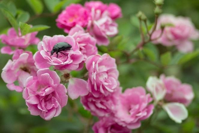 scarabée sur une rose