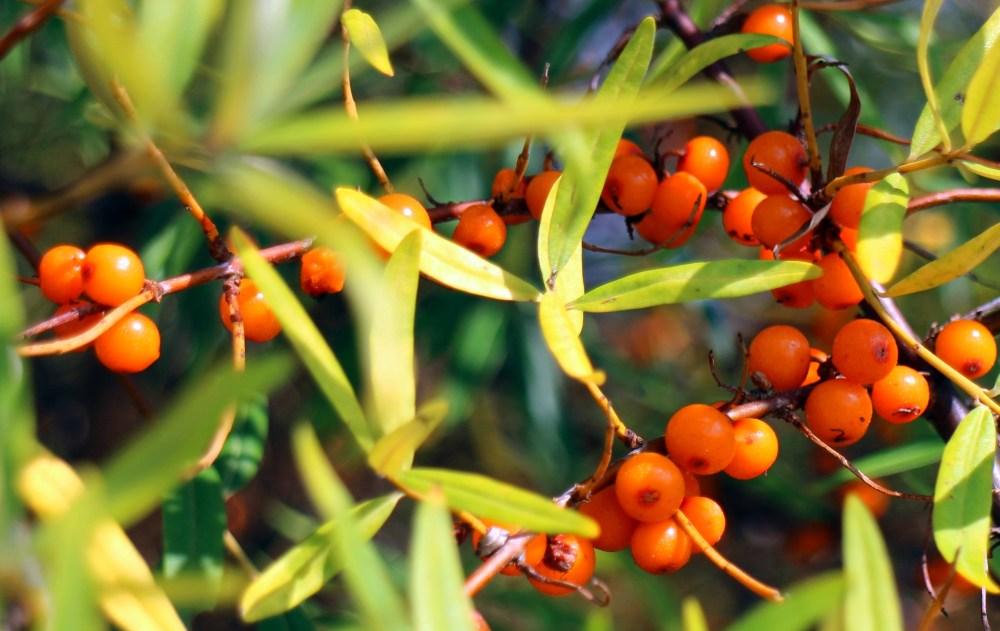 arbuste argousier avec ses fruits