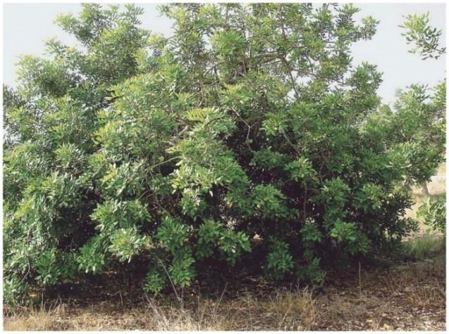 plantes pare-feu: le caroubier