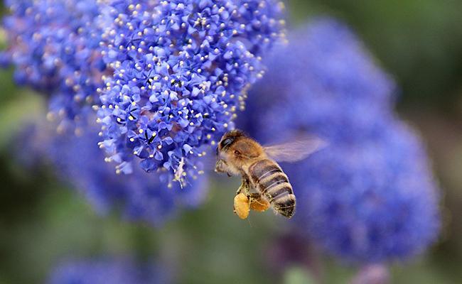 abeille-pollen-162825