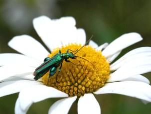 oedemere-commune-fleur
