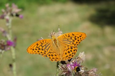 A silverwash fritillary butterfly perched on a purple thistle flower