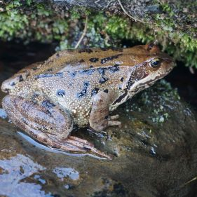 Toad with black splodges on a wet rock under a mossy bank