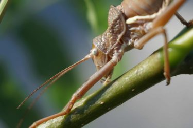 Bush cricket on a long stalk, macro close up on head and antenna