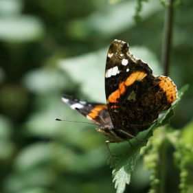 Red Admiral - Hampton Wood and Meadow, UK