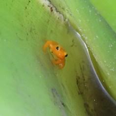 Golden dart frog Kaieteur