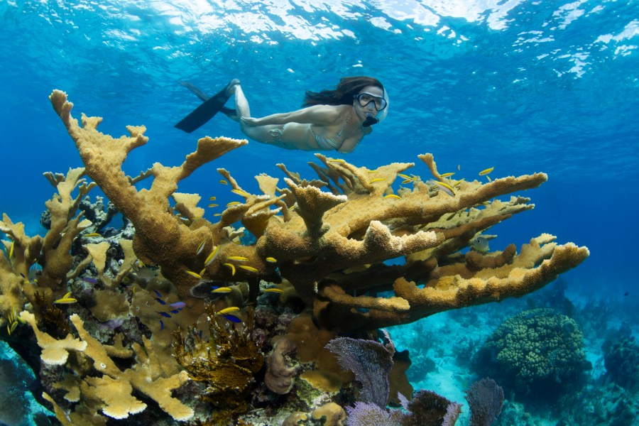 A woman snorkels near a stand of healthy Elkhorn coral in the Bahamas.