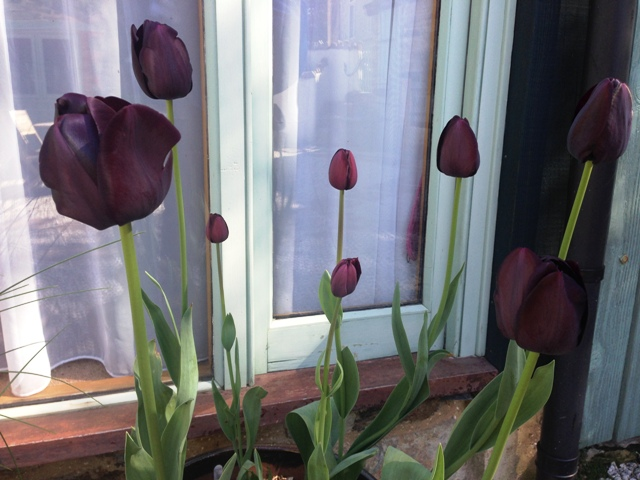 Spring Tulips
