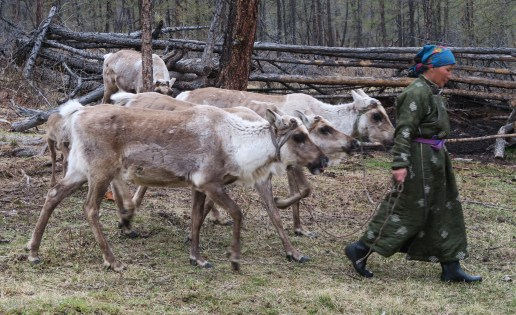 Dame Tsaatan promenant ses rennes
