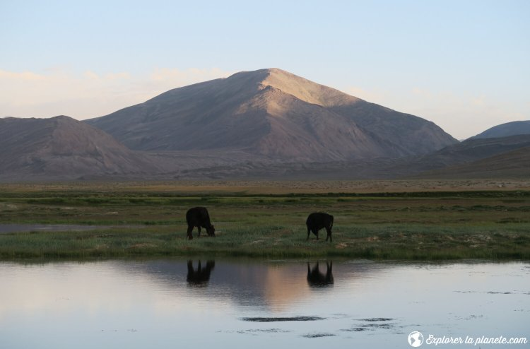 Vaches à côté d'un plan d'eau au Tadjikistan