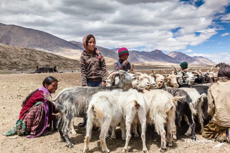 Peuple Changpa avec chèvres au Ladakh