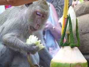 Monkey eating flowers in ‎Angkor‎, ‎Siem Reap, Cambodia