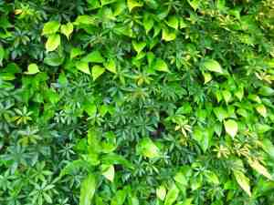 Wall of greenery at Devonian Gardens Calgary Canada