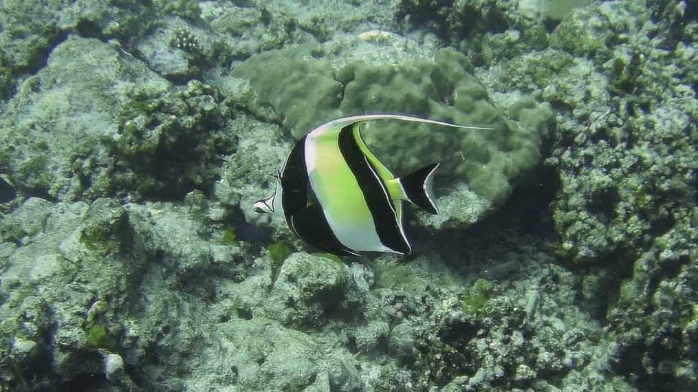 Close up photo of a Moorish Idol fish white, black and yellow stripes