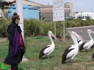 Large Pelicans in Australia, on grass